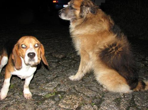 Beagle enfermo y pastor viejito