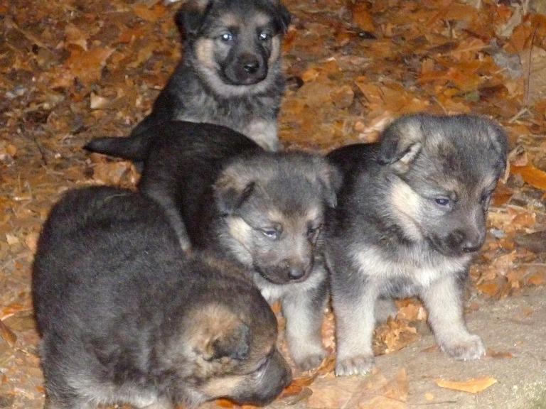 Cachorros de pastor alem n en adopci n refugio de for Pastores alemanes en coruna